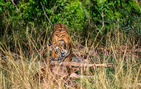 Tiger Meal