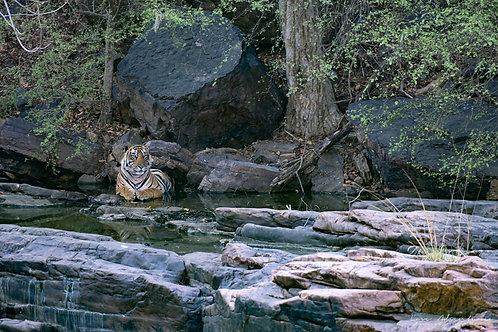 Tiger in Stream