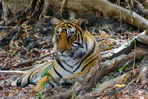 Tiger Resting 2