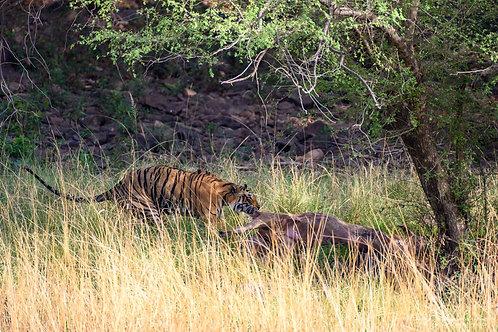 Tiger Pulling Deer