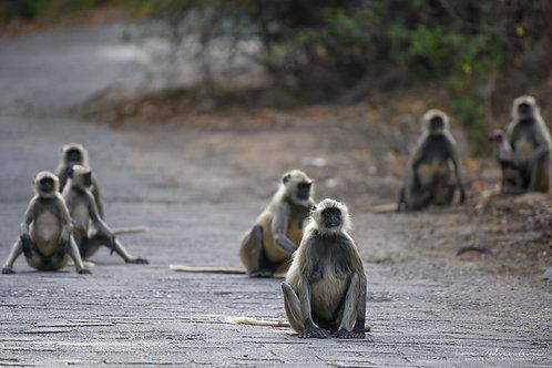 Resting Monkeys