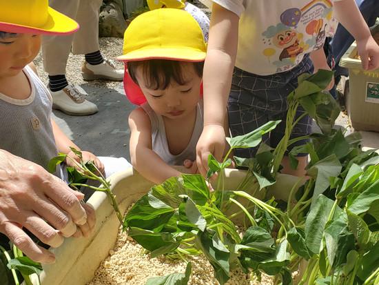 さつま芋の苗植えをしたよ!
