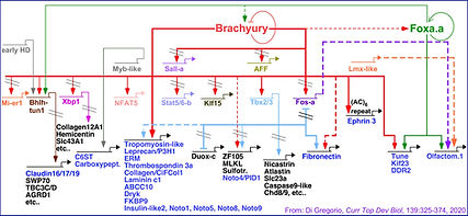 Book Chapter Notochord GRN-Fig. 4-FINAL-