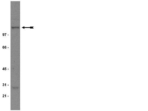 Ref.: 05-432 - ANTICORPO NR1 200UG 4C