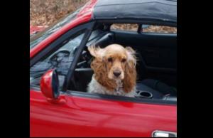 Le transport des animaux de compagnie en voiture