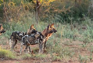 Perros salvajes en Mana Pools, Zimbabwe