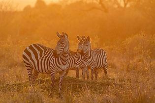 Cebras en Masai Mara, Kenya