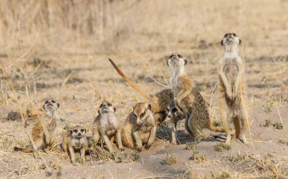 Suricatas en Botswana
