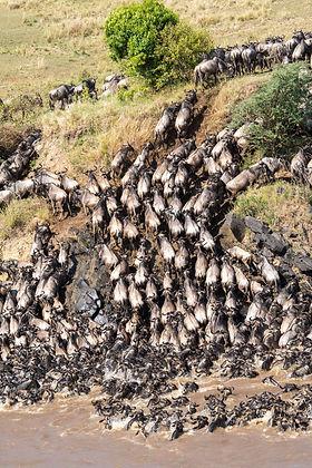 Migración de ñues en Masai Mara, Kenya
