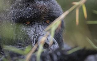 singita_kwitonda_lodge_-_gorilla_13_-_b3