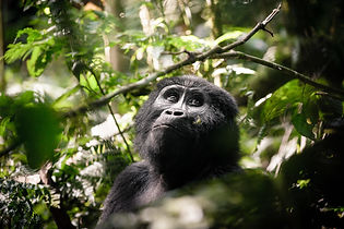 Sanctuary Gorilla Forest Camp Gorilla, U