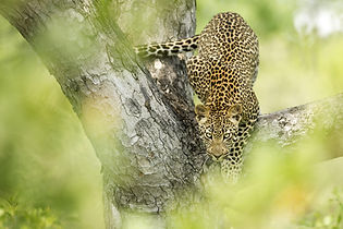 Leopardo en Singita Boulders Lodge, Sudá