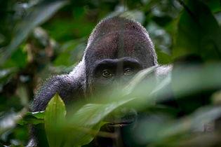 Safari en Congo, Parque Nacional Odzala