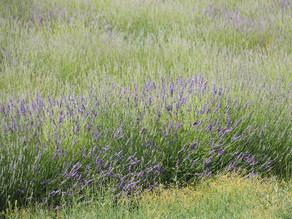 "Südbilder: ""Lavendel"""