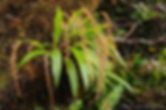 Dendrochilum grandiflorum 3 - Chien C Le