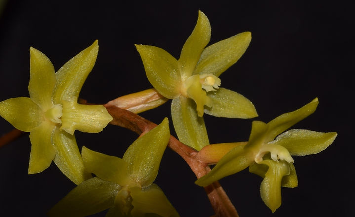 Dendrochilum pangasinanense 10 - Trey Sa