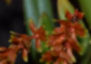 Dendrochilum woodianum - Trey Sanders 12