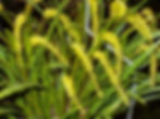 Dendrochilum javieri HDO 7-03 001 - Davi