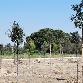 Il Rotary pianta 250 alberi ai Tamburi