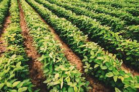 CADE reitera sua competência para decidir sobre licenciamento compulsório de cultivares