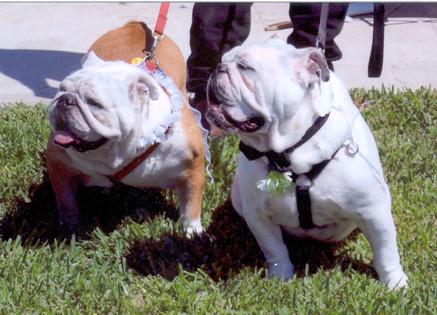 pp-bulldogs Pat Rogers copy.jpg