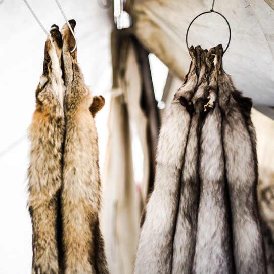 Fox pelts hang from hooks.