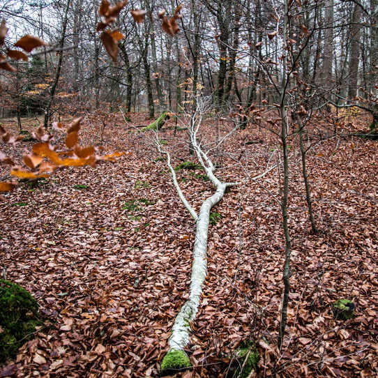 A fallem birchtree in a forest south of Malmo. A birchtree is symbol of renewal and new beginnings.