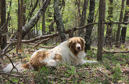 Pirin woods.jpg