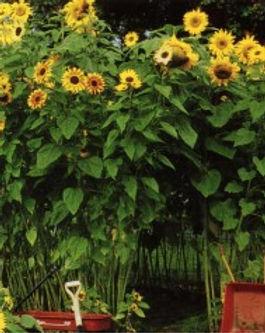 SunflowerHouse-300x238.jpg