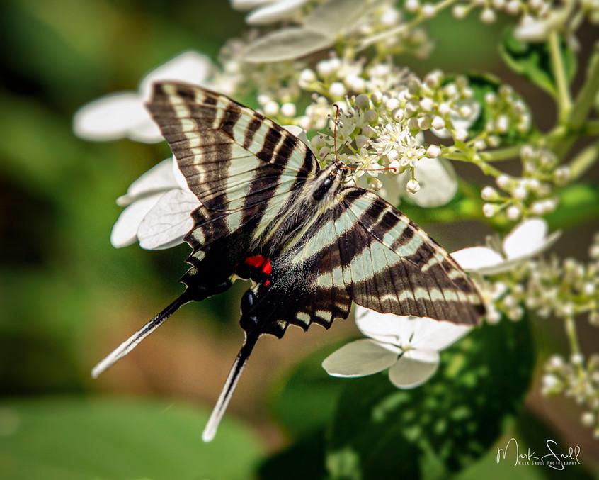 Zebra Swallowtail post.jpg