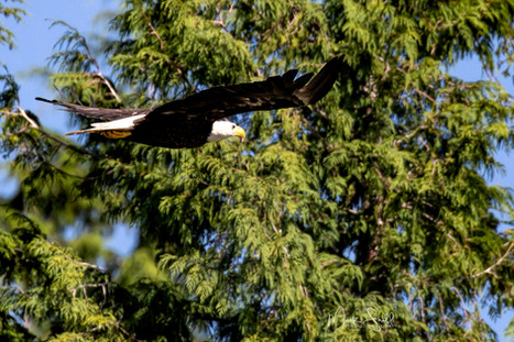 Bald Eagle approach tree.jpg