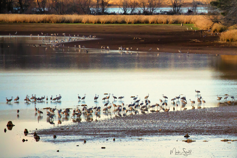 Sandhill Cranes Hiwassee Refuge view