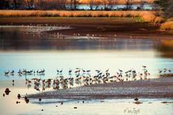 Sandhill Crane refuge