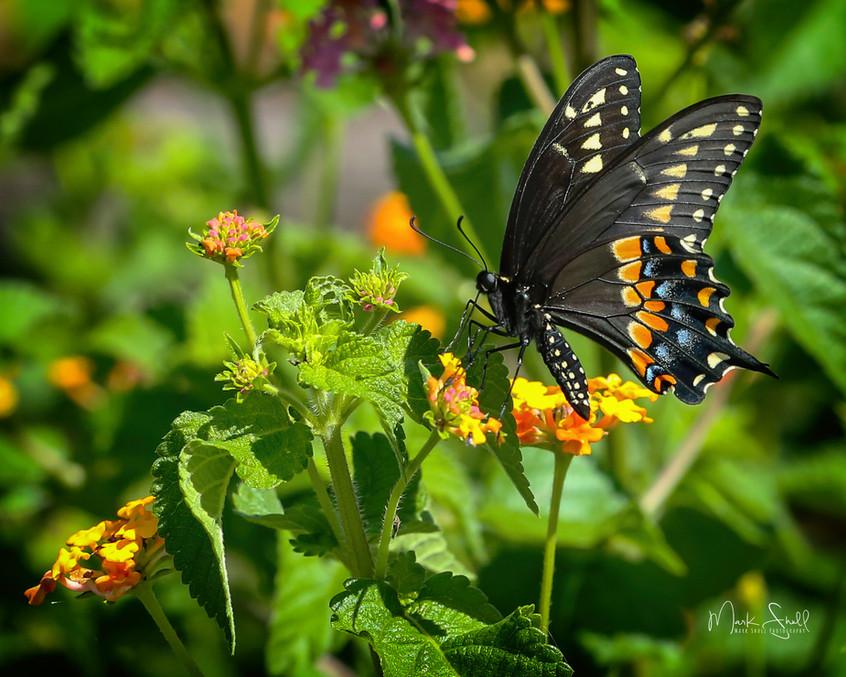 Spicebush Swallowtail Open Field vignett