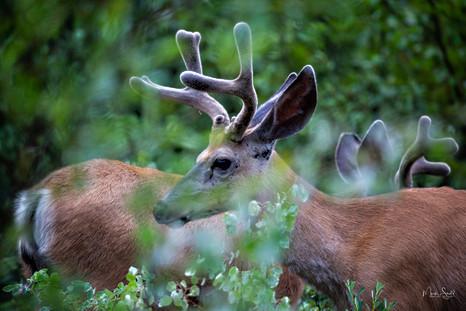White Tail Deer Banff NP