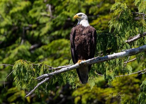 Bald Eagle Ketchikan portrait.jpg