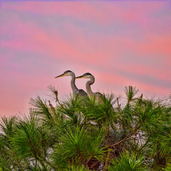 Birds Destin Herrings in trees post