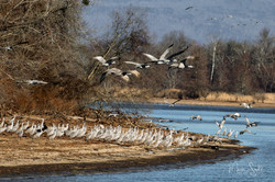 Sandhill Cranes Hiwassee Refuge