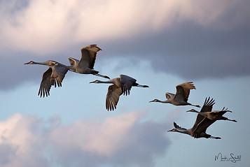 sand hill cranes sunset flight crp post.