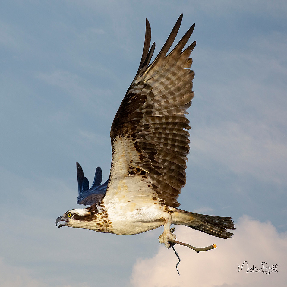 High flying Osprey