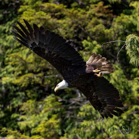Bald Eagle Ketchikan in flight.jpg