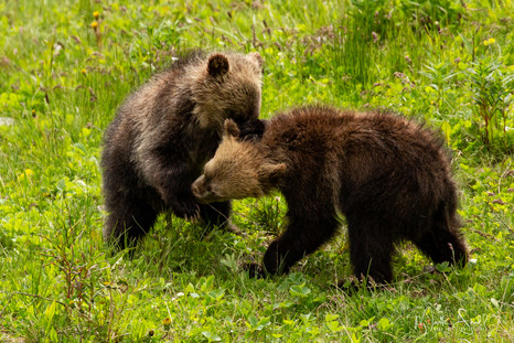 Grizzly Cub Play