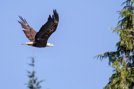 Bald Eagle in flight.jpg