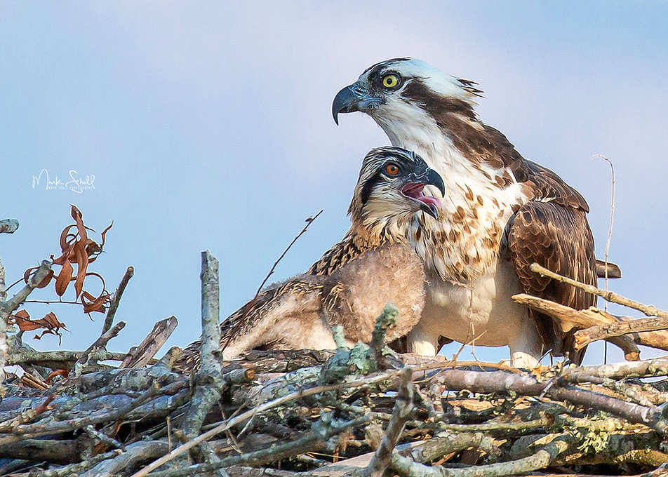 Osprey Mom and Juvinile nest