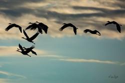 Birds sandhill black blue silouette
