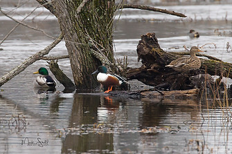 birds ducks mallards northern shoveler