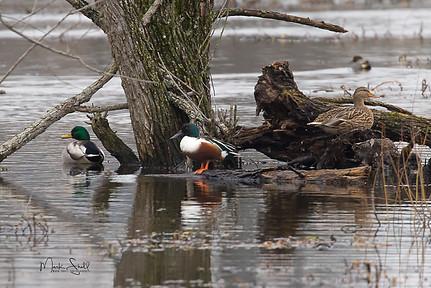 birds ducks mallards northern shoveler