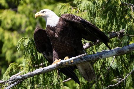 Bald Eagle launch.jpg