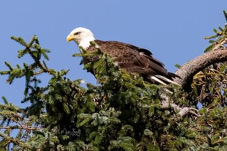 Bald Eagle fir tree top.jpg