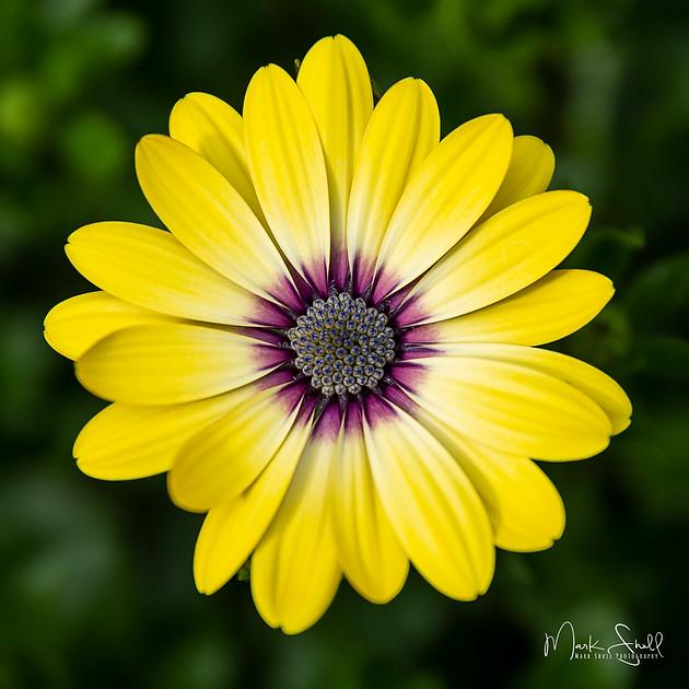 Yellow Bloom Fairbanks